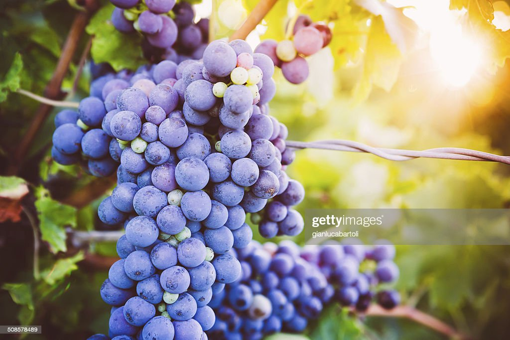 Rote Weintrauben am Weinstock : Stock-Foto