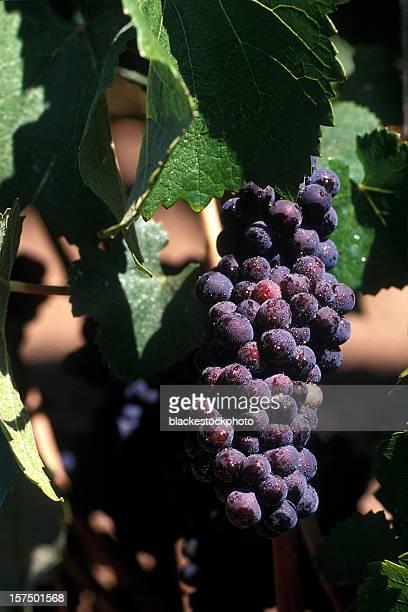 Raisin rouge sur la vigne recouvert de gouttelettes de l'eau