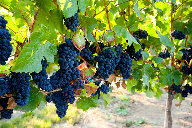 Red Grapes Ripen On The Vine In A Vineyard Wall Art