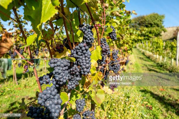 Red grapes wait to be picked as volunteers take part in the annual harvest at Breaky Bottom vineyard on October 7 2018 in Lewes England The vineyard...