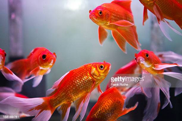 red great looking fishes in a water tank - redfish stock photos and pictures