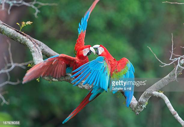 red & green macaws, brazil - mato grosso do sul state stock pictures, royalty-free photos & images