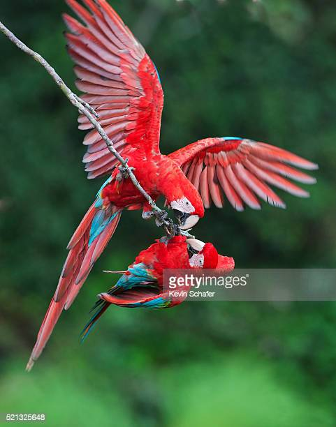 red & green macaws (ara chloroptera) pantanal, brazil - mato grosso state stock photos and pictures