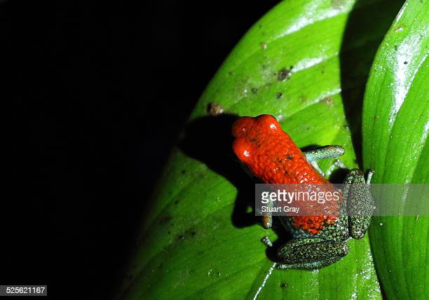 Red green poison frog (Oophaga granulifera)