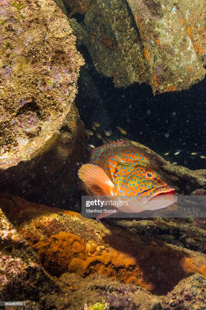 Red grouper inside a wreck : Stock Photo
