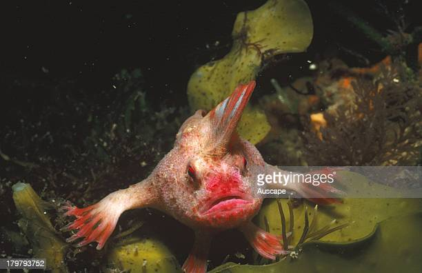 Red handfish Thymichthyspolitus rare and critically endangered species known only from this area Southeastern Tasmania Australia