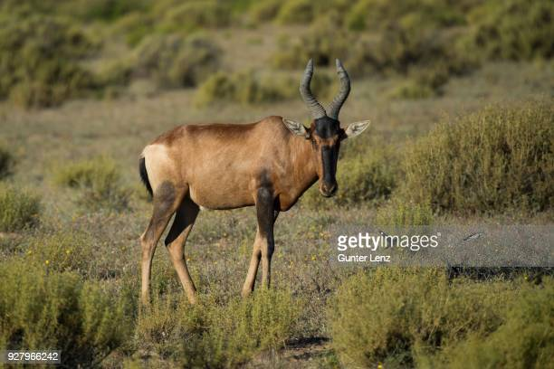 Red hartebeest (Alcelaphus buselaphus caama), Bushmans Kloof, private game reserve, Clanwilliam, Western Cape, South Africa