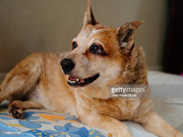 red heeler dog - cão stock pictures, royalty-free photos & images