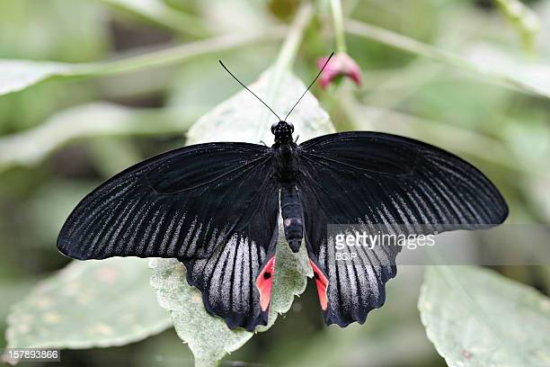 Red Helen Adult Papilionid Of The Papilio Helenus Species Picture Taken In The Butterfly Greenhouse The Yvelines FrancePapilio Helenus Red Helen...