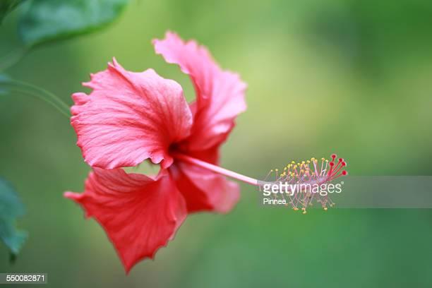 Red Hibicus flower, Dong Nai, Vietnam.