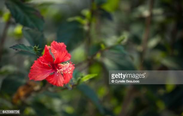 Red Hibicus