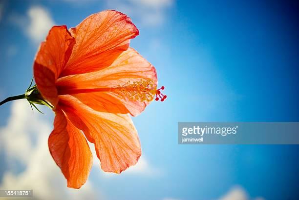 red hibiscus against blue bright sky