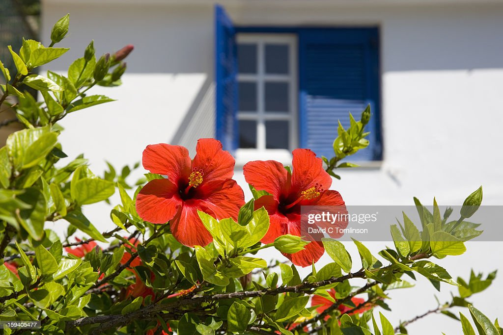 Red hibiscus and blue shutters, Vathy, Ithaca : Stock Photo