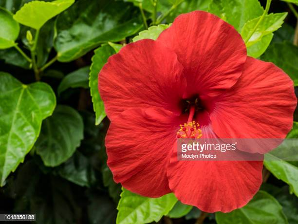red hibiscus and green leaves - hibiscus stock pictures, royalty-free photos & images