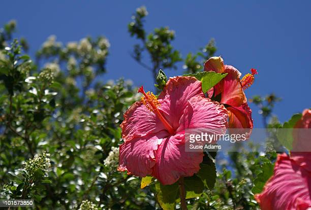 Red hibiscus, blue sky