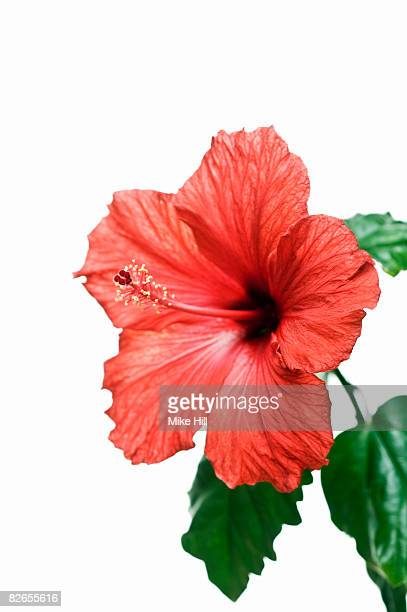 Red hibiscus flower against white background