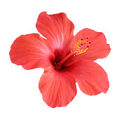 Free hibiscus stock photo - Hibiscus images download ...