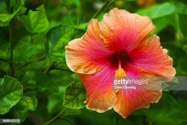 red hibiscus flower - hibiscus stock pictures, royalty-free photos & images