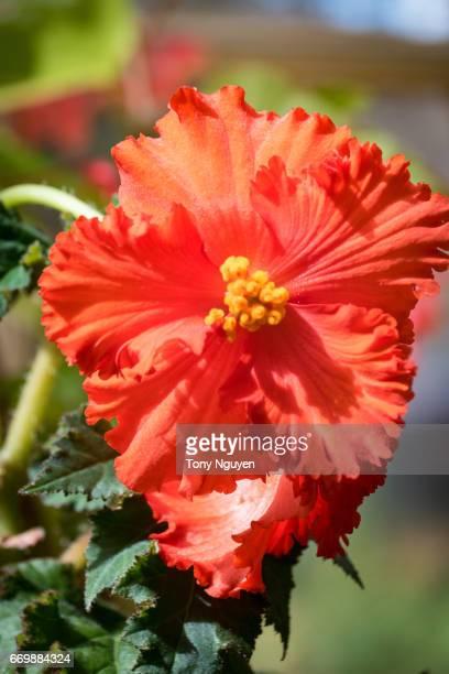 Red hibiscus flower under the sun.