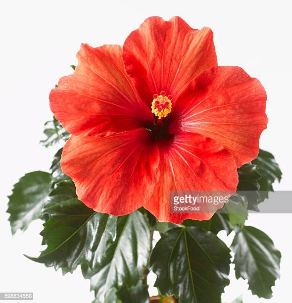 Red hibiscus flower with leaves