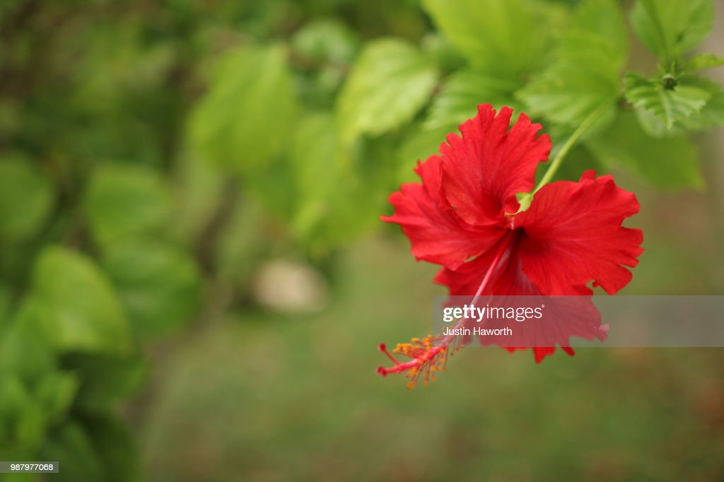 Red Hibiscus In Panama Stock Photo Getty Images