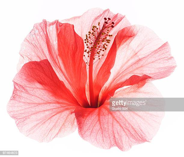 red hibiscus  - single flower stock pictures, royalty-free photos & images