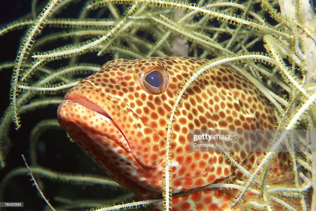Red hind sea bass : Stockfoto