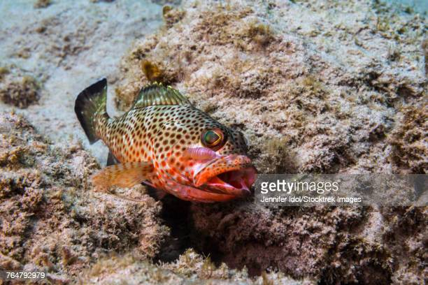 Red hind with shrimp attached to face in St. Croix, U.S. Virgin Islands.