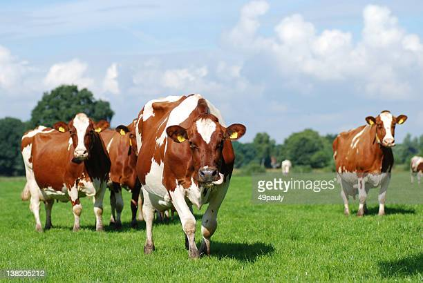 Red Holstein improved cattle walking through a pasture.