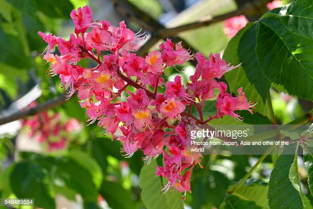 red horse chestnut tree in full bloom, vilnius - picture of a buckeye tree stock photos and pictures