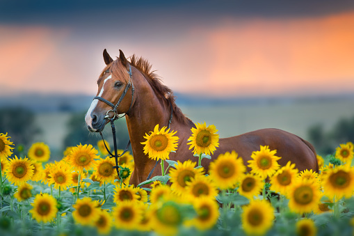 Red horse in sunflowers field 1076489360