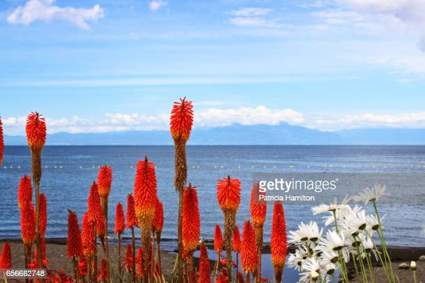 Red hot poker flowers and daisies beside Lake Llanquihue, Chile