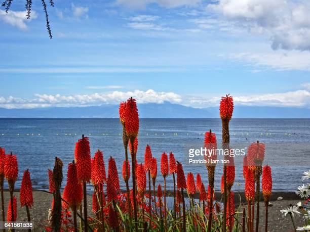 Red hot poker flowers beside Lake Llanquihue, Chile