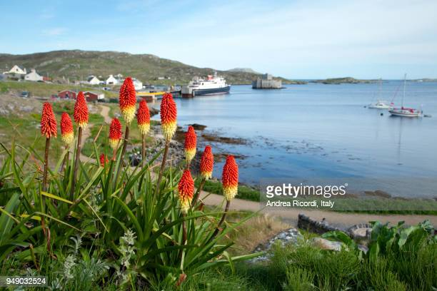 red hot torch lilies, western isles, scotland - barra scotland stock pictures, royalty-free photos & images