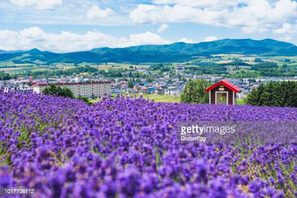 red hut and lavender field on the hillside of hinode farm in summer, furano, hokkaido, japan - hokkaido stock pictures, royalty-free photos & images