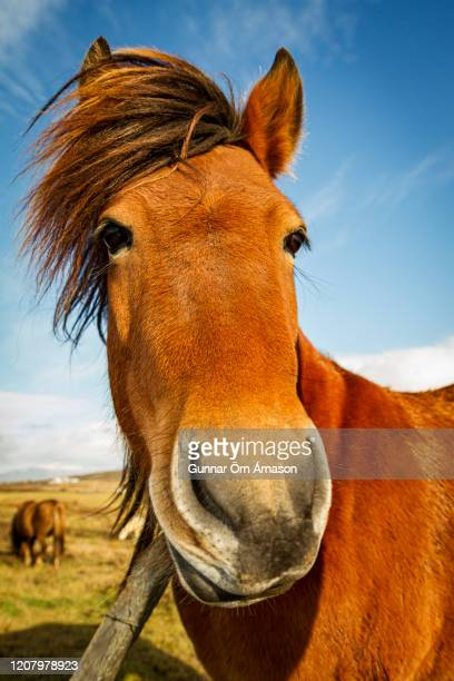 a red icelandic horse - gunnar örn árnason stock pictures, royalty-free photos & images