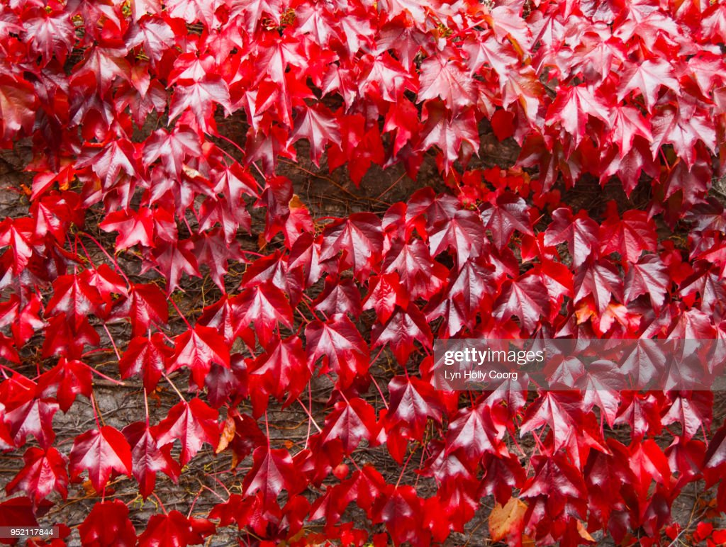 Red Ivy ( Virginia creeper ) leaves on brick wall in the Fall : Stock Photo