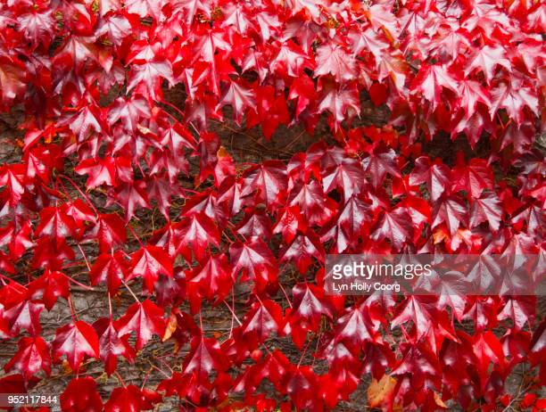 red ivy ( virginia creeper ) leaves on brick wall in the fall - lyn holly coorg photos et images de collection