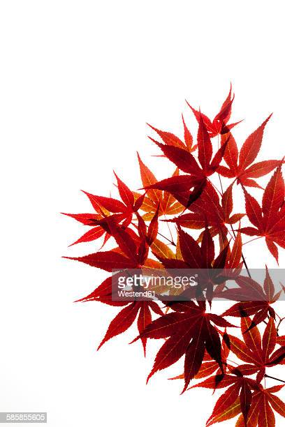 Red Japanese Maple, Acer palmatum, twig and leaves