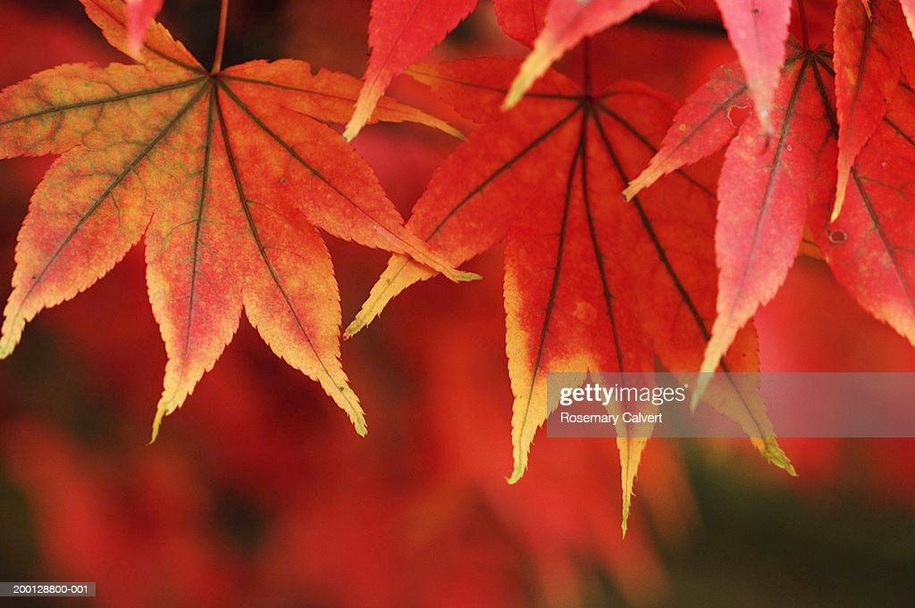Red Japanese maple leaves (Acer palmatum), close-up : Stock Photo