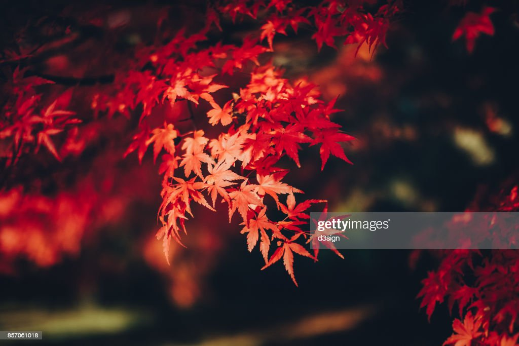 Red Japanese maple leaves in natural park : Stock Photo