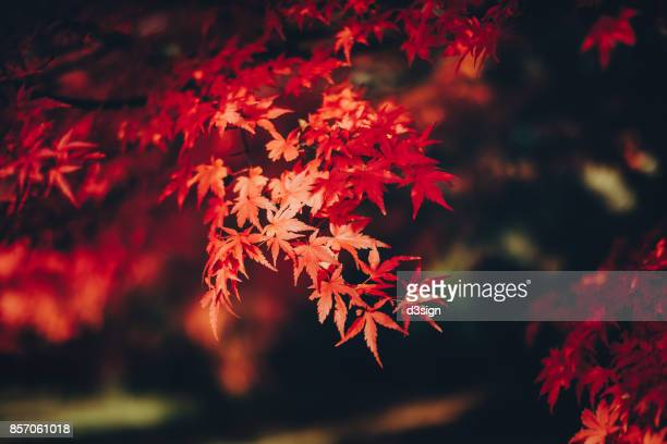 red japanese maple leaves in natural park - acero foto e immagini stock