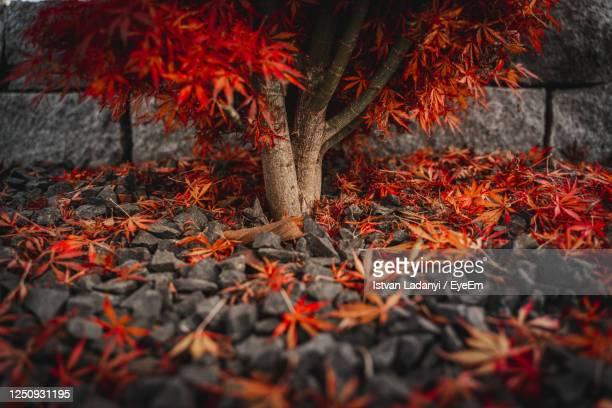 red japanese maple leaves lying on a black stone ground, autumn postcard background - beautiful bare bottoms stock pictures, royalty-free photos & images