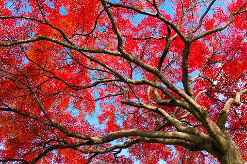 Red Japanese Maple Leaves - gettyimageskorea