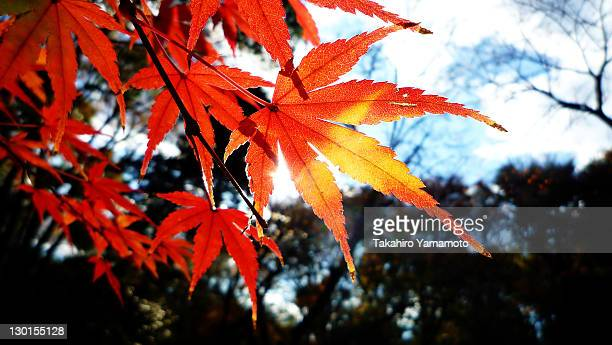 red japanese maple leaves - suginami stock photos and pictures