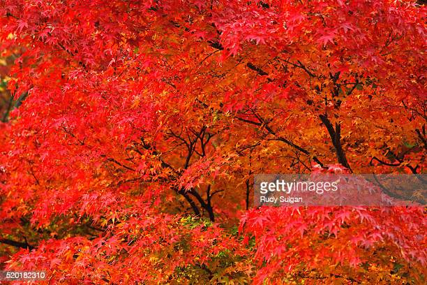 red japanese maple leaves - japanese maple stock pictures, royalty-free photos & images