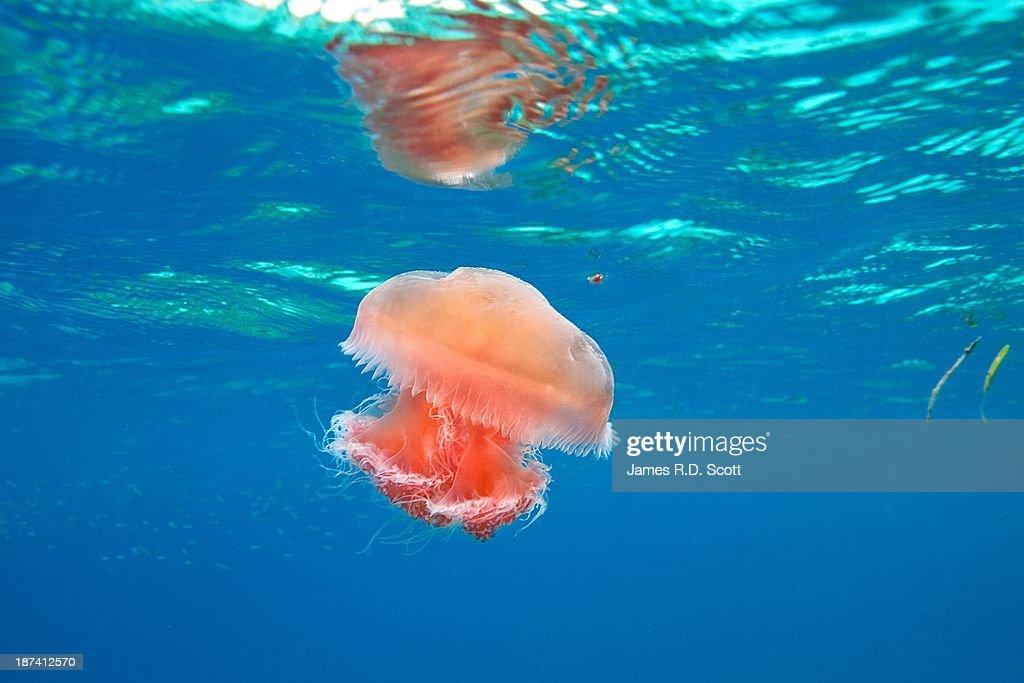 Red jellyfish : Stock Photo