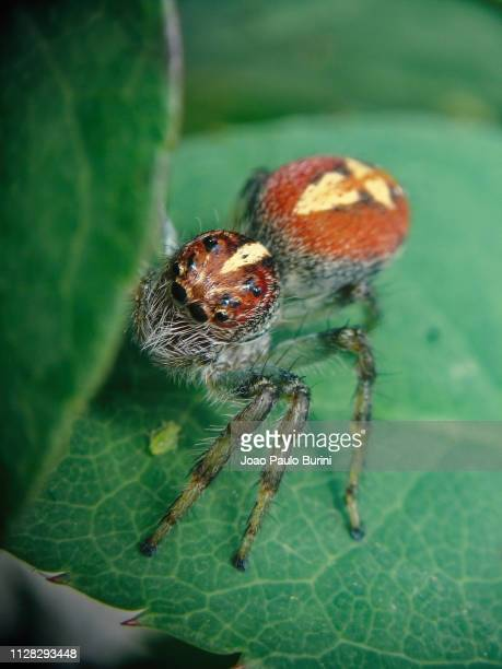 red jumping spider macro - sorocaba stock pictures, royalty-free photos & images