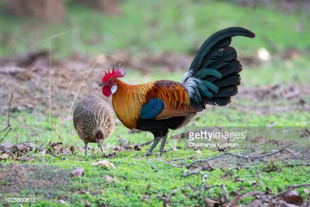 A red junglefowl couple searching for food on pench tiger reserve during wildlife reserve