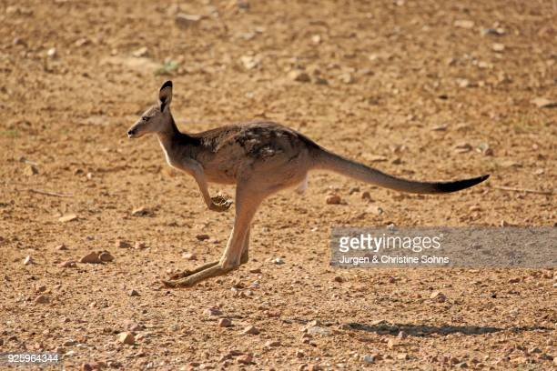 Red kangaroo (Macropus rufus), adult female jumping, Sturt National Park, New South Wales